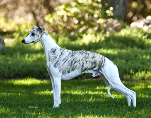 Whippet Best In Breed National Dog Show